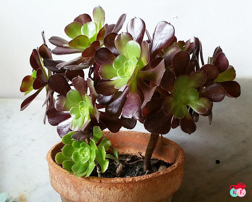 succulente-5