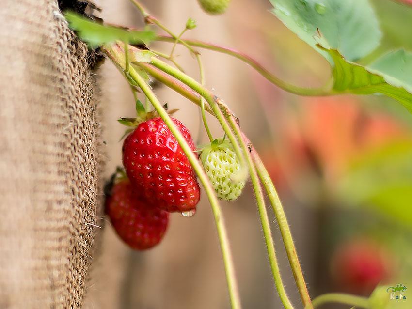 jardin en palette pour fraise