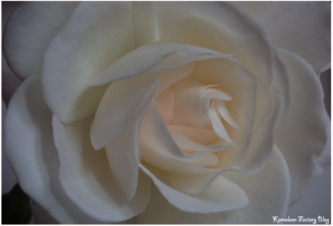 Rose blanche pour soliflore