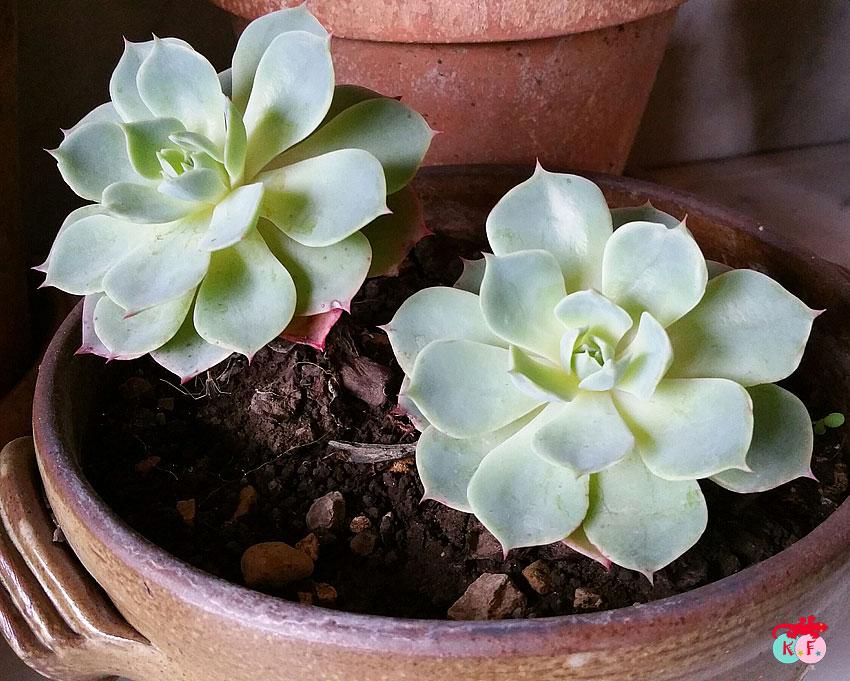 succulente-4